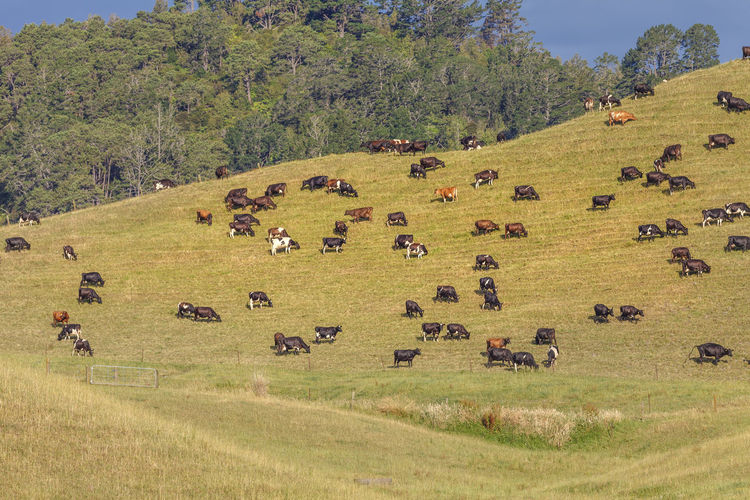 Cows grazing on grassy hill