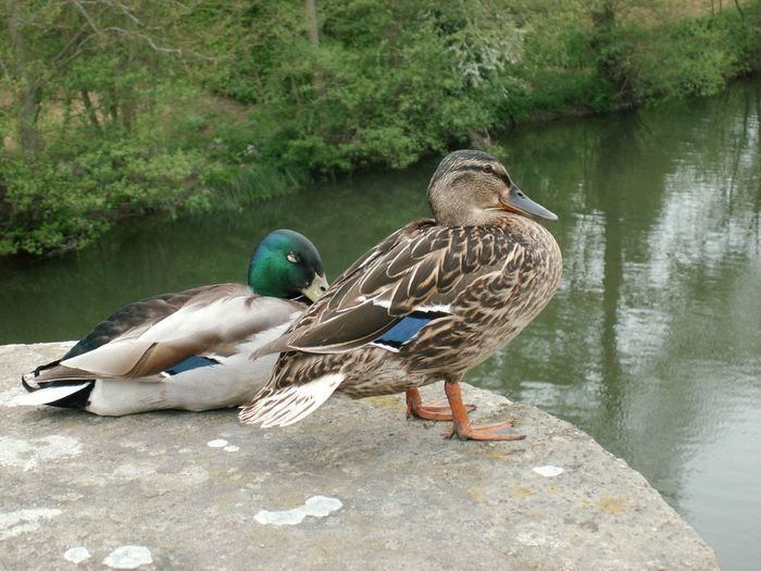 Ducks Mallards