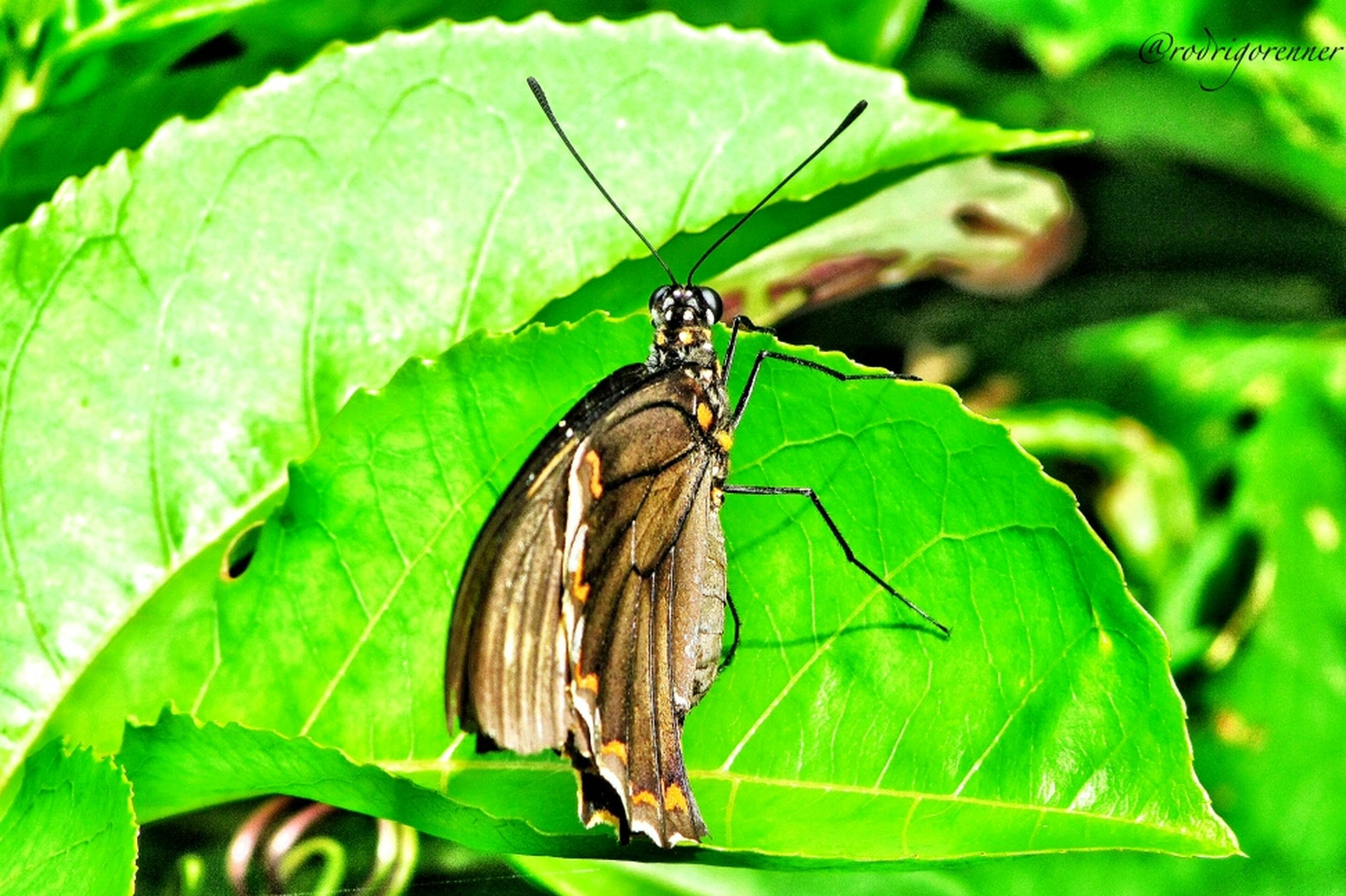 animals in the wild, animal themes, one animal, wildlife, insect, leaf, green color, butterfly - insect, close-up, focus on foreground, animal wing, animal markings, animal antenna, butterfly, full length, perching, nature, zoology, plant, natural pattern