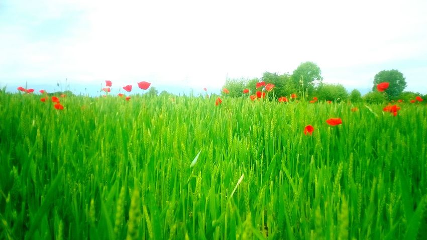 From the point of view of a wheat field View Poppy Field Flower Growth Plant Red Nature Green Color Beauty In Nature Cereal Plant Outdoors Springtime Rural Scene Wheat River Meduna