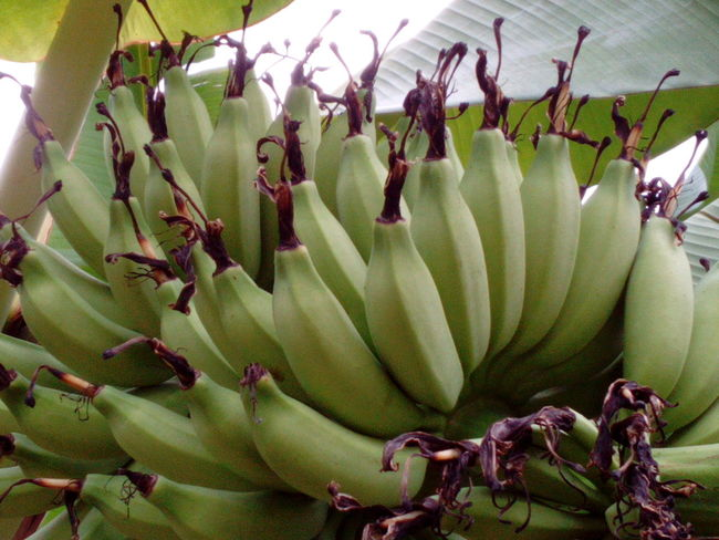 Bananas Organic Food Green Bananas Banana Tree Healthy Food Fruit Jakarta Indonesia Green Color Food And Drink Food No People Healthy Eating Growth Freshness Day Outdoors Close-up Nature