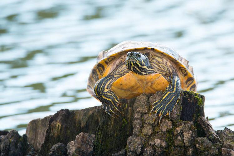 Yellow-bellied eared turtle sitting on a tree trunk in a pond, trachemys scripta scripta