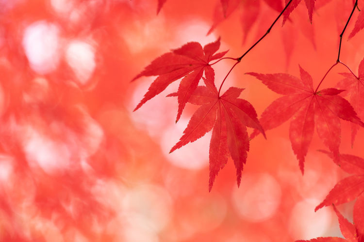 Plant Part Leaf Autumn Change Red Close-up Maple Leaf Plant Beauty In Nature Maple Tree No People Nature Leaves Tree Selective Focus Growth Branch Day Outdoors Focus On Foreground Natural Condition