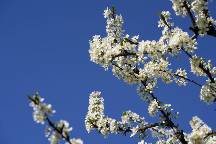 A branch of plum blossom with a blu sky in the background Plant Sky Fragility Flowering Plant Flower Beauty In Nature Growth Vulnerability  Low Angle View Springtime Tree Nature Freshness Blue Blossom Clear Sky No People Day Branch White Color Outdoors Pollen Flower Head Plum Blossom Plum Flowers