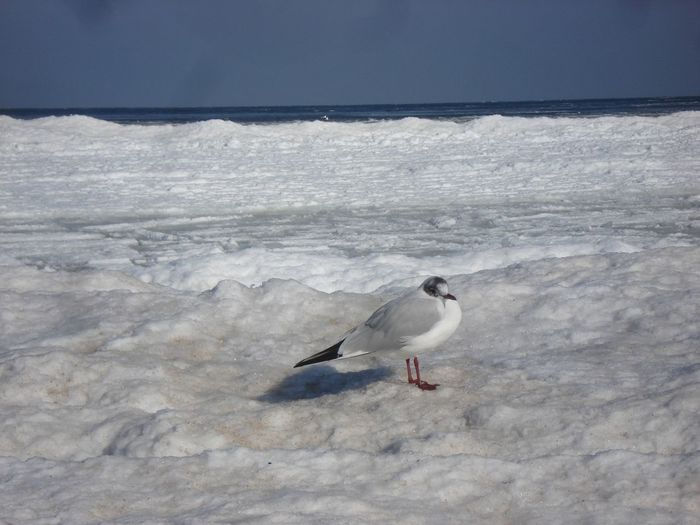 Eis Und Schnee Lachmöwe Möwe Ostseestrand Beach Beauty In Nature Bird Ice And Snow On Baltic Sea Beach Nature No People One Animal Outdoors Perching Sea Seagull Water