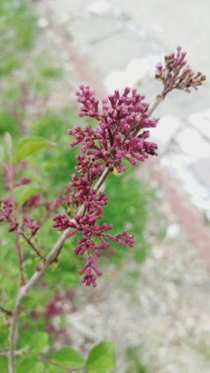 Lilac Budding Shrub Budding Spring Bloom Purple Flower