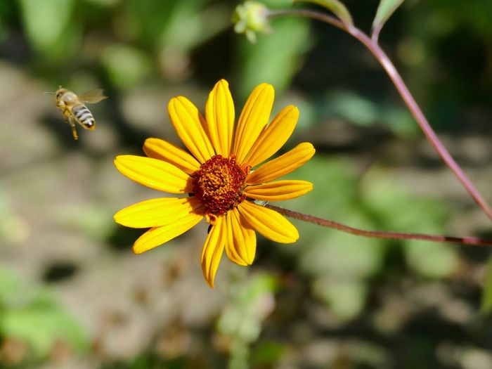 Buzzing away Bee Close-up Flower Flower Head Flowering Plant Fragility Growth Insect Plant Pollen Yellow