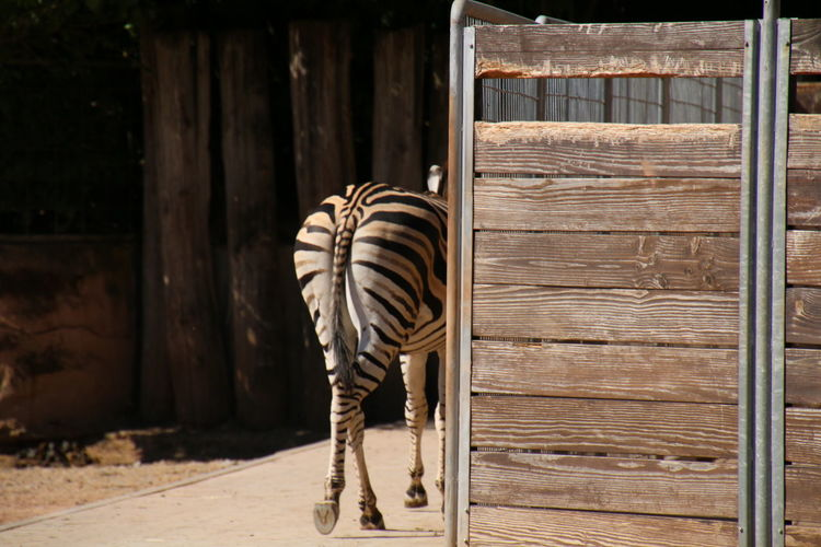 Rear view of zebra walking in zoo