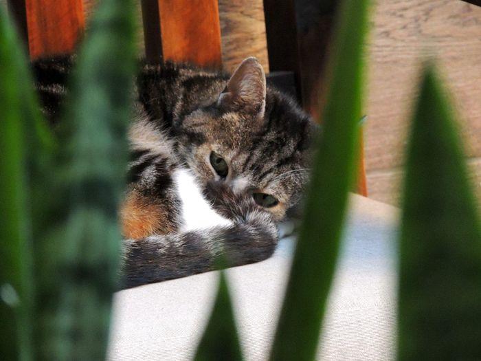 Rayitas Nikon Coolpix P510 Green Eyes Cat Rayitas Pets Feline Looking At Camera