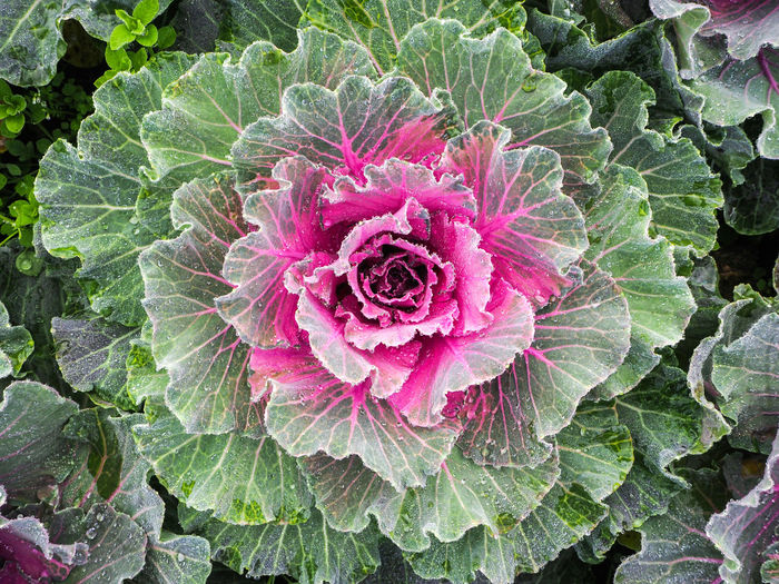 Cabbages Flower