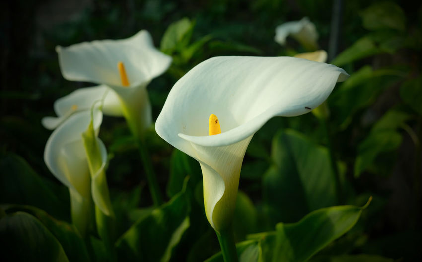 Calla lilies in a garden at sunset.