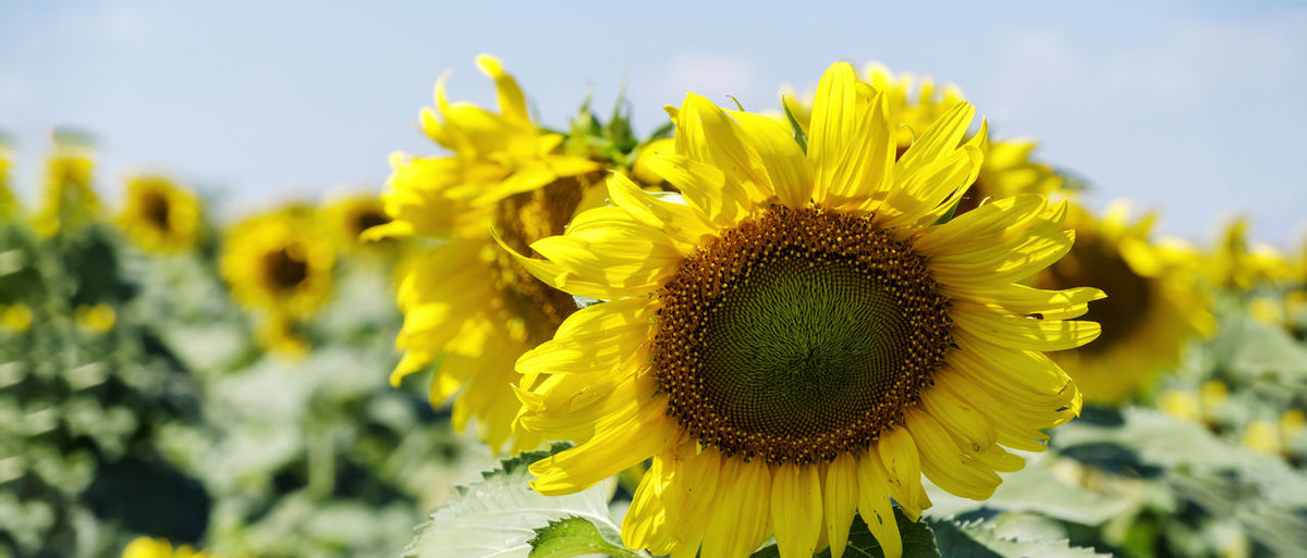 Close-up of yellow sunflower on field against sky