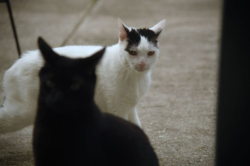 Two cats look at camera Cat Outside Cats Afternoon Meow Mammal Vertebrate Animal Black Cat White Cat Cement Patio Portrait Two Cats Two Is Better Than One Outdoors Looking At Camera Full Length Concrete Friendship Brother Animal Themes Face Domestic Animals Pets Kitty EyeEmNewHere