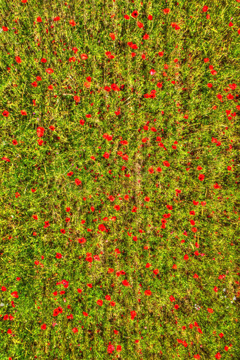 Field Red Drone  View Aerial Landscape Poppy Summer Nature Flower Beautiful Background Agriculture Season  Outdoors Grass Scene Growth Scenic Lines Countryside Perspective