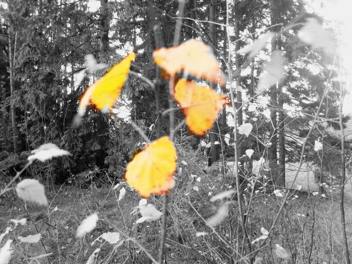 Sigtuna, ölsta. Autumn Autumn Leaves Into The Woods BlankAndWhiteButNot