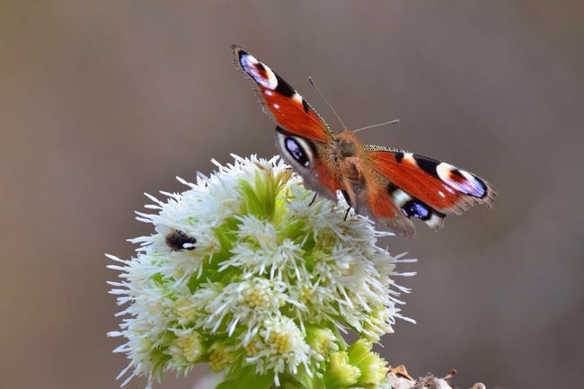 Germany Nature Flower Animal Insect Butterfly Macro