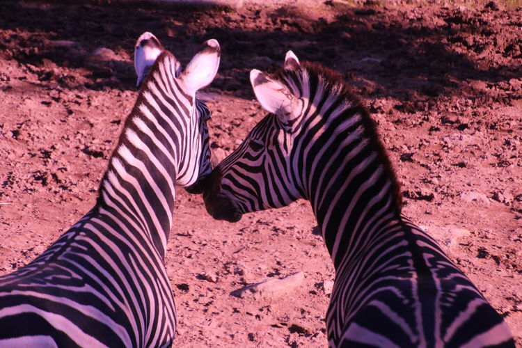 High Angle View Of Zebras Standing At Zoo
