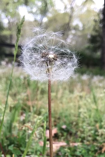Nature Dandelion Flower Growth Plant Close-up Beauty In Nature Flower Head Blowing In Wind Dandelion Blowing Dandelion Seeds