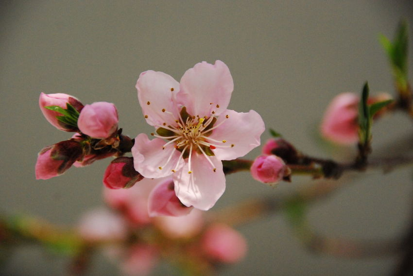 Beauty In Nature Blossom Branch Close-up Day Flower Flower Head Fragility Freshness Growth Nature No People Outdoors Peachtree Petal Pink Color Plum Blossom Pollen Rhododendron Spring Spring Flowers Stamen Tree
