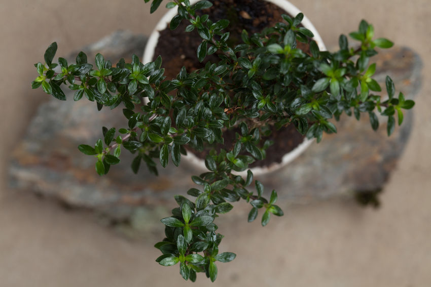 Small Bonsai Tree from Top Beautiful Beautiful Nature Beauty In Nature Bonsai Botanical Botanical Gardens Botany Close-up Foliage Garden Gardening Green Green Color Growing Growth Leaf Leaves Lush Foliage Natural Natural Beauty Nature Organic Plant Small Tree