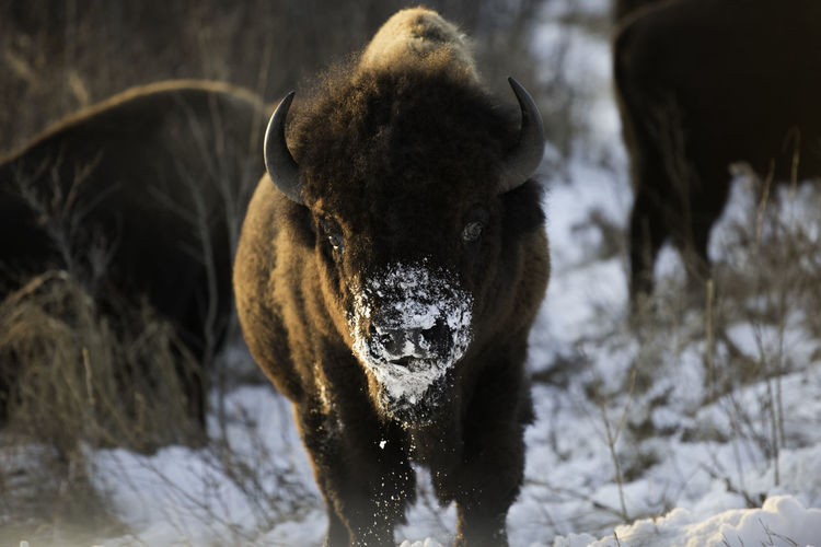 Close-up of bison on snow covered field during winter