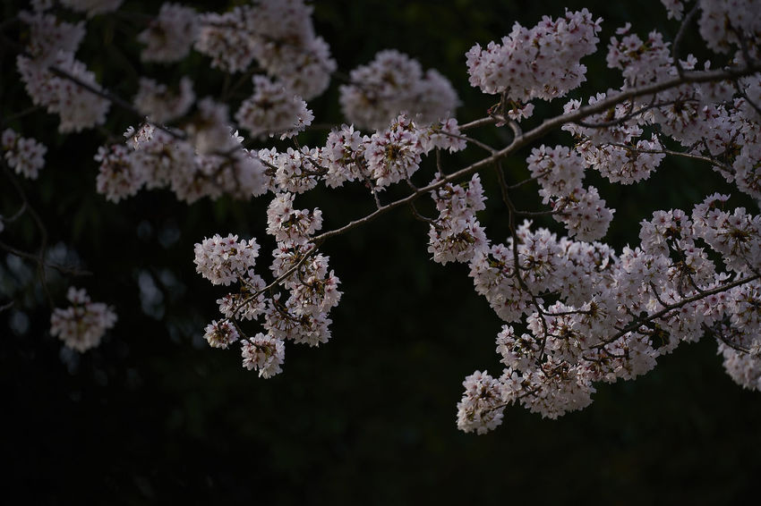 Beauty In Nature Blossom Branch Cherry Blossom Cherry Tree Close-up Day Flower Flower Head Flowering Plant Focus On Foreground Fragility Freshness Growth Nature No People Outdoors Plant Springtime Tree