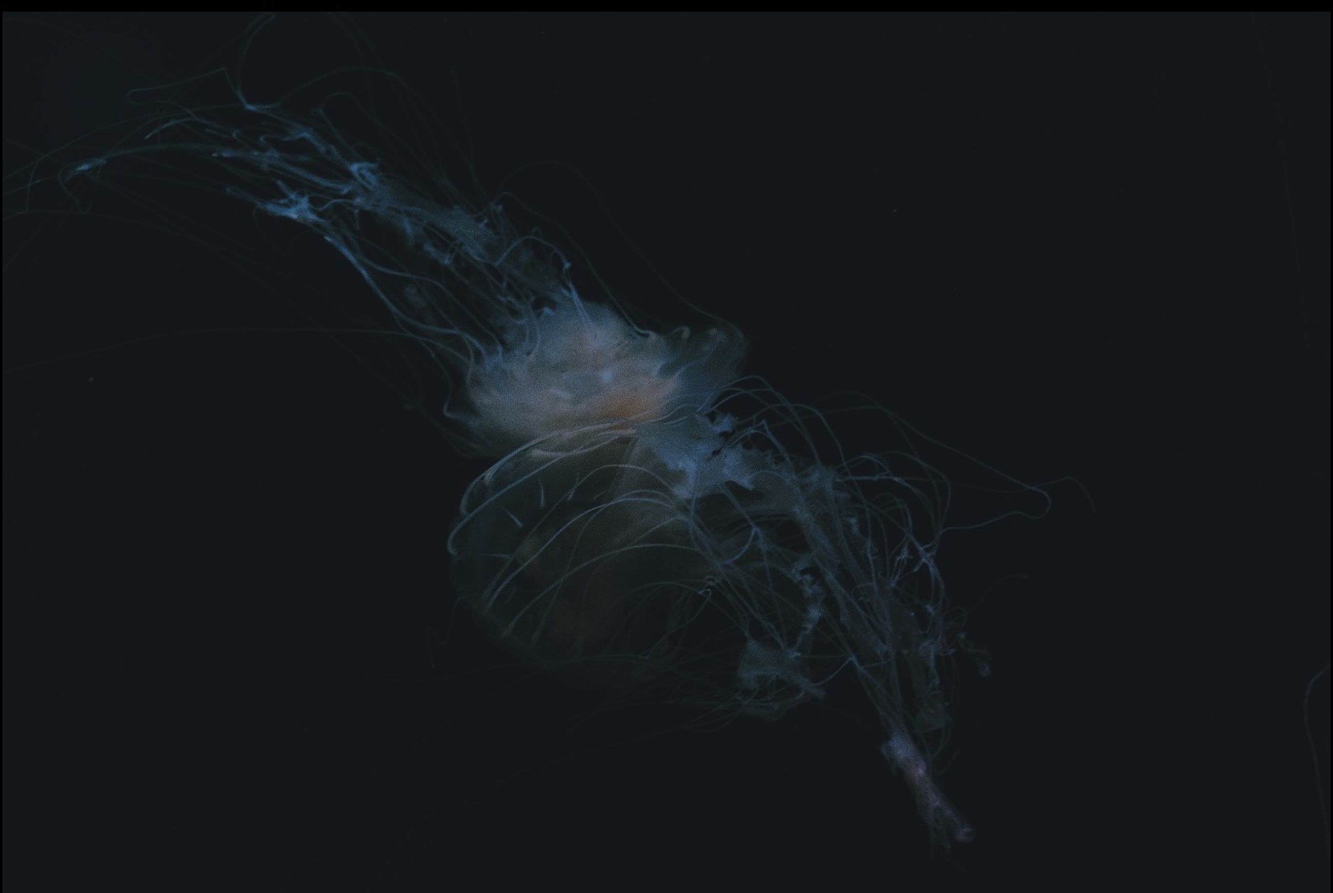 black background, studio shot, night, copy space, close-up, long exposure, motion, no people, nature, underwater, dark, glowing, beauty in nature, jellyfish, danger, abstract, blurred motion, outdoors, sea life, animal themes