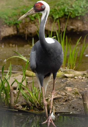 white-naped crane Animal Wildlife Bird Close-up Day Animal Themes LONDON❤ NikonD5500 Beauty In Nature Bird Photography Avian Collection Birds_collection Nikonphotography One Animal Water Marsh Lake Beak Nature