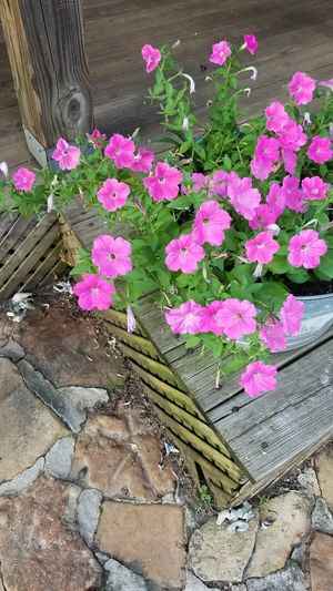 Pink Flowers Wash Tub Outdoors Outdoor Photography Back Porch Summer Summertime Petunias In Full Bloom Bright Colors Flower Head Flower Leaf Pink Color Petal High Angle View Close-up Plant Petunia Periwinkle Blooming In Bloom Pollen