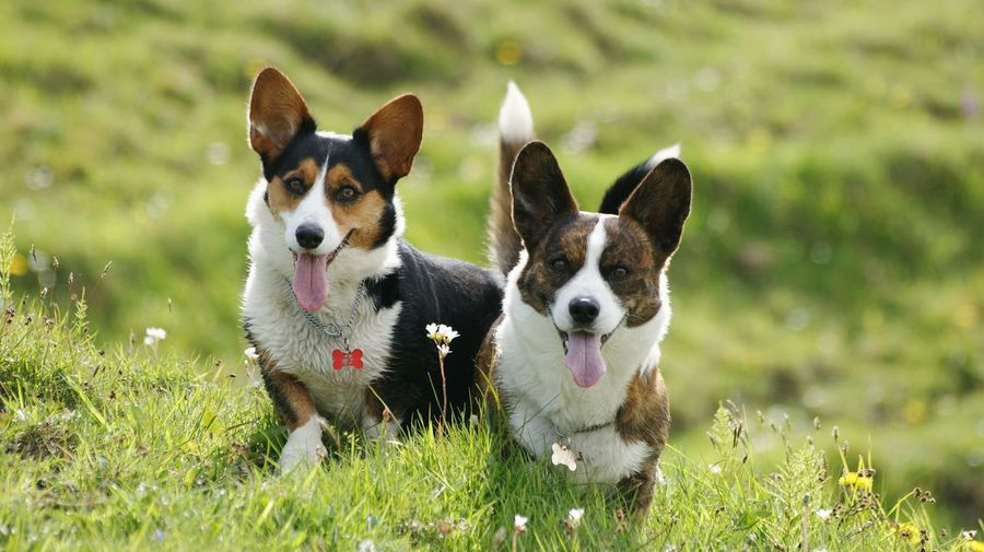 Portrait of pet dogs sticking tongue out while sitting on grass