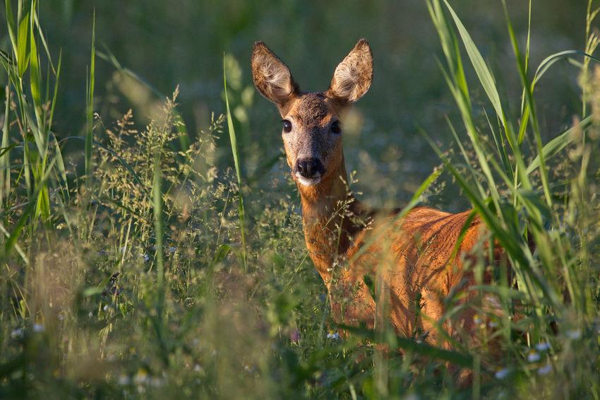 Animal Beauty In Nature Mammal Nature Ree Reegeit Roe Deer