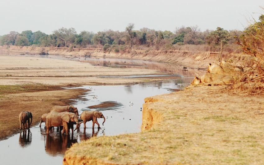 Elephants 🐘 catching up on gossip at the water hop Riverbank Luangwa National Park Zambia Elephant Water Plant Nature Animal Themes Animal Land Day Group Of Animals Beauty In Nature Tranquility Animal Wildlife