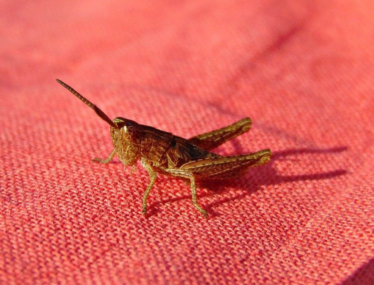 кузнечик насекомое Природа