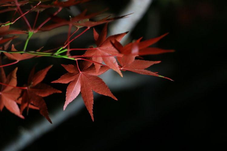 夜の紅葉🍁 Leaf Nature Autumn Close-up Red Beauty In Nature EyeEm Gallery EyeEm Best Shots 写真撮ってる人と繋がりたい Canon 70d Canon EOS 70D ライトアップ ファインダー越しの私の世界 写真好きな人と繋がりたい 紅葉 Enjoying Life 紅葉2016 Night