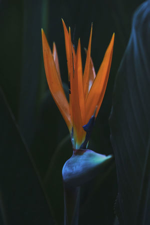 Flower Beauty In Nature Bird Of Paradise - Plant Close-up Day Flower Flower Head Fragility Freshness Growth Nature No People Outdoors Petal Plant Bird Of Paradise Bird Of Paradise Flower Bird Of Paradise Plant Tropical Plants