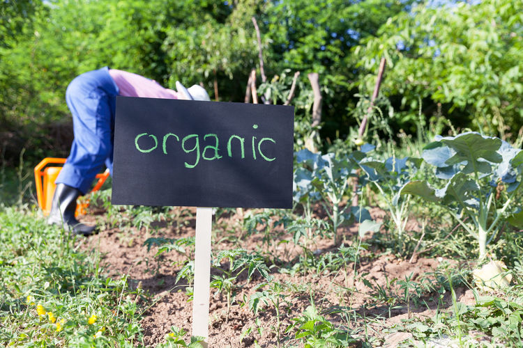 Farmer working in the organic vegetable garden Certified Farmer Gardening Natural Plant Production Standards Working Broccoli Ecological Environment Farming Food Growth Healthy Leaf Nature Organic Food Organically Outdoors Private Safe Soil Tomato Vegetable Garden