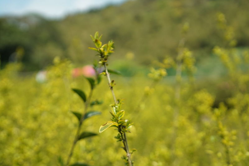 Green Color Snoy Taiwan Travel Trip Beauty In Nature Close-up Day Field Focus On Foreground Freshness Growth Nature No People Outdoors Plant Season  Selective Focus SonyA5000 Sonyalpha Spring Springtime Taipei