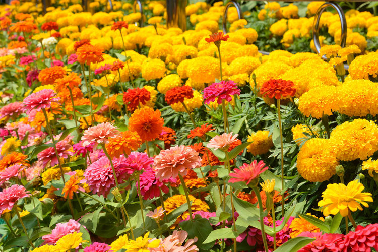 Close-up of multi colored flowers