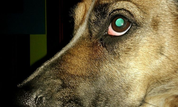 Animal Dog Dog Life Dog Eye Eye Photo Of Eye