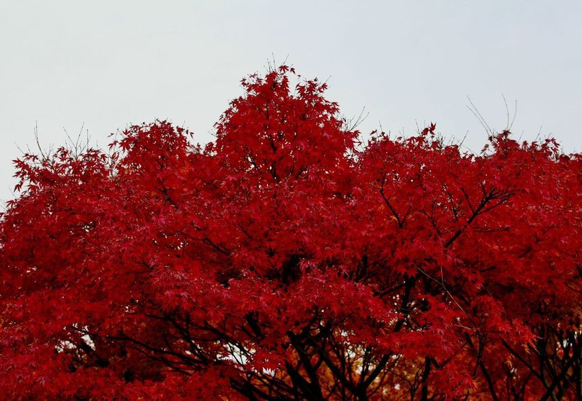 Autumn Tree Change Nature Red Beauty In Nature Low Angle View Leaf No People Outdoors Growth Day Clear Sky Branch Sky Fragility Flower Close-up Autumn17 Herbst17 🦋 Postcode Postcards Scenics Low Angle View Beauty In Nature Nature