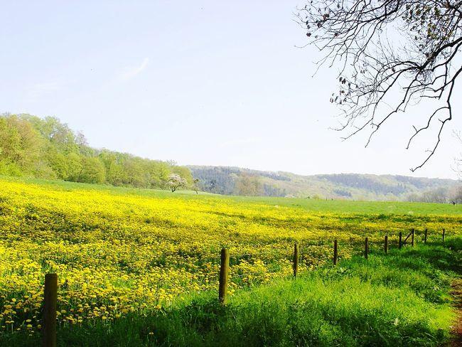 Landscapes With WhiteWall Laacher See Laacher Lake View Lake Meadow Flowers Meadow Dandelion Rhineland-palatinate Eifel Germany Eifel Vulkaneifel Vulkan