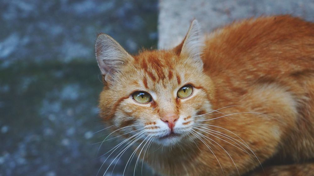 Domestic Cat Animal Themes One Animal Feline Whisker Mammal Pets Domestic Animals Looking At Camera Portrait Focus On Foreground No People Close-up Ginger Cat Day Outdoors