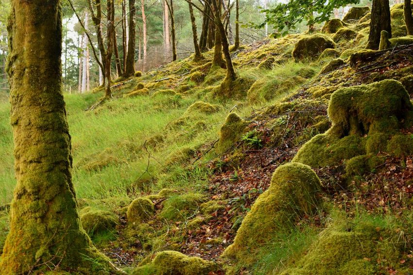 An Torr, a woods walk with green and mossy trees and rocks Ecosystem  Mossy An Torr Scotland United Kingdom Tree Plant Land Forest Growth Beauty In Nature Tranquility Tree Trunk Trunk Nature No People Green Color Scenics - Nature Day Moss Tranquil Scene Environment WoodLand Non-urban Scene Sunlight