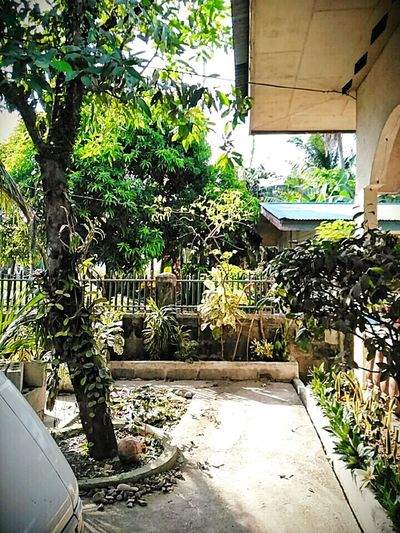 Yard patio trees Tambis Tree sunny Mornings province Rural neigborhood green nature roof plants fence concrete snake plant yellow bell Plant Box