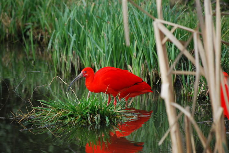 red ibis Animal Animal Themes Animal Wildlife Animals In The Wild Beauty In Nature Bird Cardinal - Bird Close-up Day Grass Green Color Growth Nature No People One Animal Perching Plant Red Red Ibis Selective Focus Vertebrate