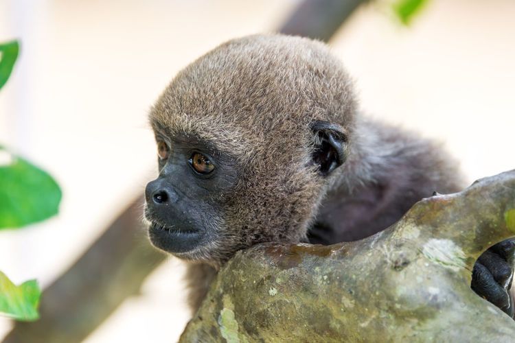 View of the face of a woolly monkey in the Amazon near Iquitos, Peru Amazon Amazonas Amazonia Animal Wildlife Animals In The Wild Close-up Day Iquitos  Jungle Mammal Monkey Nature No People One Animal Outdoors Peru Rain Forest Rainforest South America Woolly Woolly Monkey
