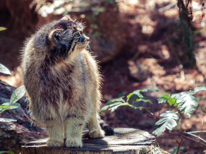 Close-Up Of Cat Looking Away While Standing On Tree Stump