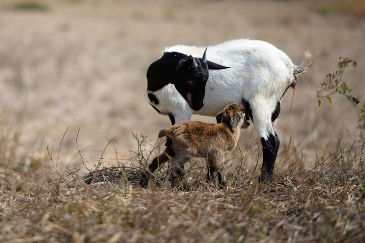 Vientiane Laos New born goat just borned in 3-5 mins. New Born Photography A New Beginning Animal Animal Family Animal Themes Day Domestic Domestic Animals Field Grass Group Of Animals Herbivorous Land Livestock Mammal Nature New Born Animal Newborn No People Outdoors Plant Selective Focus Two Animals Vertebrate Young Animal