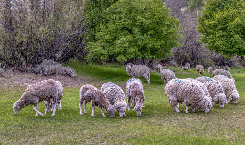 flock of sheeps Mammal Plant Livestock Animal Themes Animal Domestic Animals Sheep Domestic Grass Group Of Animals Field Pets Land Agriculture Grazing Vertebrate Tree Nature Green Color Flock Of Sheep No People Lamb Outdoors Herbivorous Herd Cheeps Sheeps