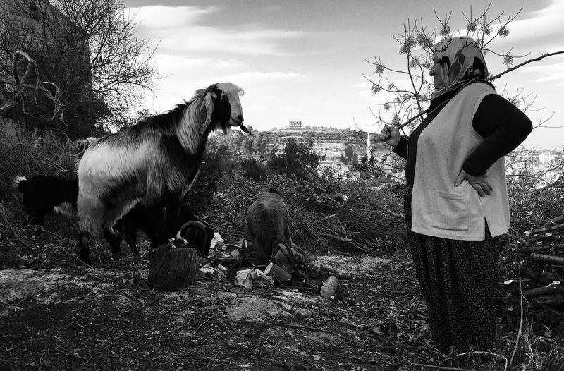 Woman standing by goats on hill against sky